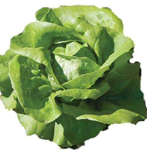 Lettuce Seeds - Buttercrunch Organic Heirloom - Non GMO by Hill Creek Seeds