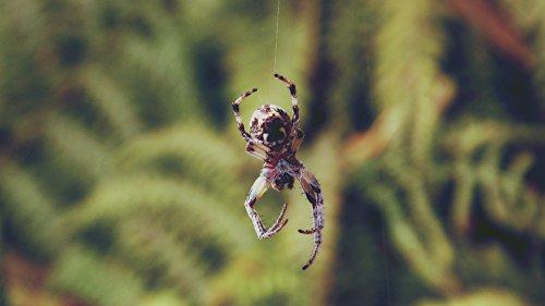 Home Comforts LAMINATED POSTER Brown Shamrock Spider Animal Poster Print 24x 36 ()