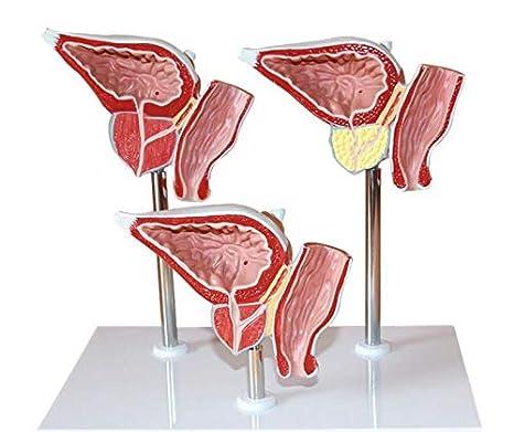 cuerpo humano prostata
