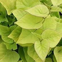 "Ipomoea-Sweet-Caroline-Sweetheart-Lime - 4 1/2"" Pot (Annual)"