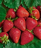 Junebearing Strawberries Chandler 10 plants