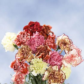 GlobalRose Premium Color Carnations - 350 Assorted Color Carnations Fancy by GlobalRose