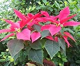 100 Pcs/Bag, Poinsettia Seeds, Euphorbia Pulcherrima,Potted Plants, Planting Seasons, Flowering Plants