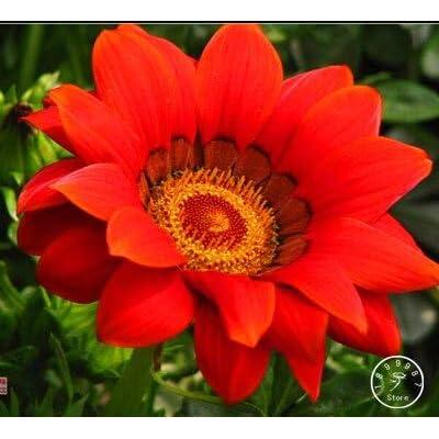 Kasuki Hot Sale!Gazania Bonsai Multicolor Mixed Plant Beautiful Gazania Flower Garden, 100pcs/Lot,#P92193 - (Color: 15): Garden & Outdoor