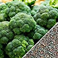 Broccoli Seeds (De Cicco), 300+ Premium Heirloom Seeds, ON SALE!, (Isla's Garden Seeds), Non Gmo Organic, 90% Germination, Highest Quality.