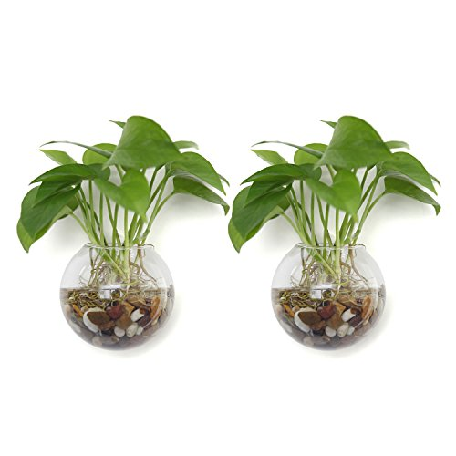 T4U Wall Mounted Glass Terrariums Pack of 2 Ball Shape 5.75