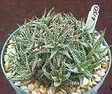 """Aloe HAWORTHIOIDES Exotic Rare Succulent Plant Clustering Cacti Cactus 6"""" Pot"""