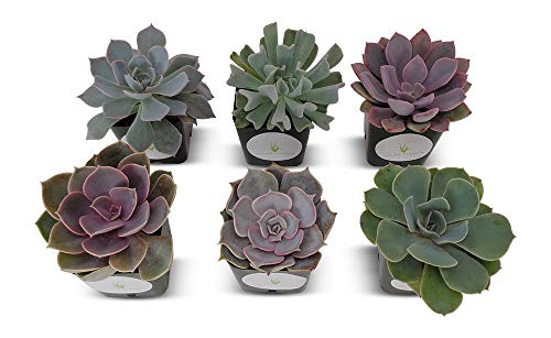 - Succulent Plants Rosette Collection 6 Pack in 2