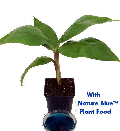 dwarf-banana-plant-musa-with-nature-bluetm-plant-food-4-pot