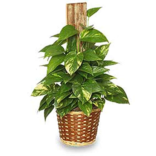 AMERICAN PLANT EXCHANGE Golden Pothos Totem Pole Live Plant 6'' 1 Gallon Indoor Air Purifier by AMERICAN PLANT EXCHANGE (Image #1)