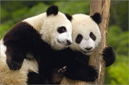 Posterlounge Alu Dibond 30 x 20 cm: Two Young Pandas on a Tree Trunk de Pete Oxford/Danita Delimont