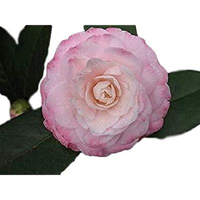 Grace Albritton Pink Camellia Japonica - Live Plant - Quart Pot : Garden & Outdoor