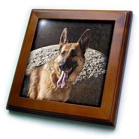 3dRose Danita Delimont - Dogs - German Shepherd Posing on Rocks - 8x8 Framed Tile (ft_314948_1) ()