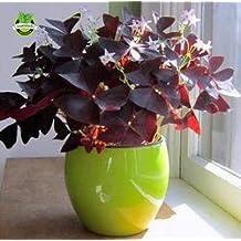 2 Red Oxalis Wood sorrel Flower Oxalis Purple Shamrock Clover 100% Real Seeds flower seeds perennial outdoor for home garden