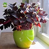 2 Red Oxalis Wood sorrel Flower Oxalis Purple Shamrock Clover 100% Real Seeds flower seeds perennial outdoor for home garden
