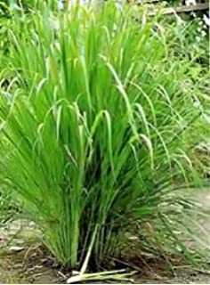 Bunny Tails Ornamental Grass Just seed ornamental grass bunnys tails lagurus ovatus 100 lemon grass indian herb 30 seeds workwithnaturefo