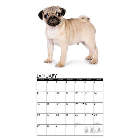 2017-Just-Pug-Puppies-Calendar-12-x-12-Wall-Calendar