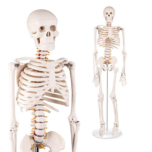 LYOU Half Life Size Human Skeleton Model, 1/2 Life Sized Skeleton Replica with Removable Arms and Legs, Includes Detailed Poster for Study and Reference