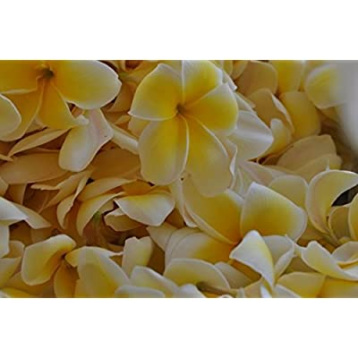 Yellow Plumeria Cuttings Hawaiian 2 Pack 9 to 12 Inches long #F2 Kanoa Hawaii: Grocery & Gourmet Food