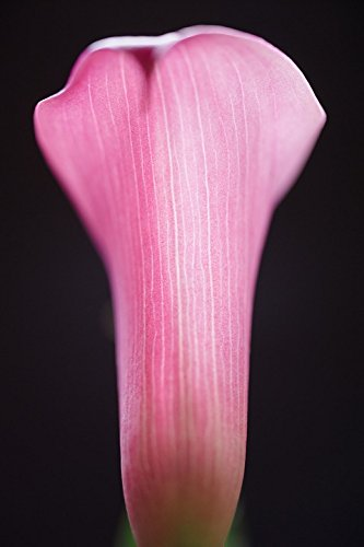 - Home Comforts LAMINATED POSTER Flower Calla Lilly Lilly Pink Botany Macro Calla Poster Print 24 x 36