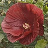 Hibiscus-Cranberry-Crush - QT Pot (Perennial)- Shipping Starts June 3rd