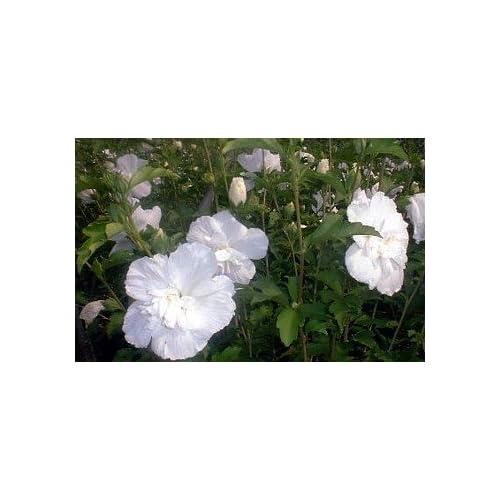 White Chiffon Hibiscus Syriacus Notwoodtwo Rose Of Sharon