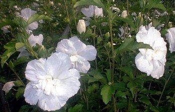 Amazoncom 1 White Chiffon Hibiscus Syriacus Notwoodtwo Rose
