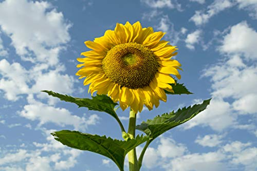 Sow Right Seeds - Jumbo Packet of Skyscraper Sunflower Seeds to plant (75+ Seeds); Up to 12 Feet Tall! Non-GMO heirloom seeds; Full instructions for easy planting; Wonderful gardening gifts (1 Packet) ()