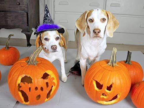 Halloween Pumpkin Carving w/Funny Dogs Maymo & Penny]()