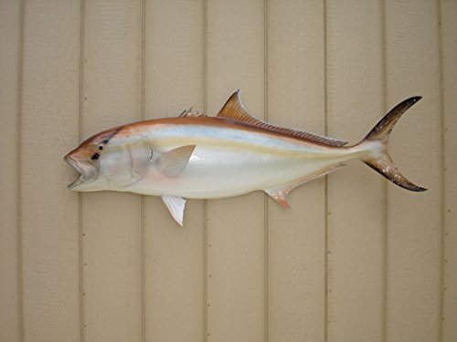 44 Amberjack Fish Mount Half Mount Fish Replica by Mount This Fish Company (Image #2)