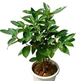 6pcs cinnamon seeds indoor bonsai evergreen tree seed