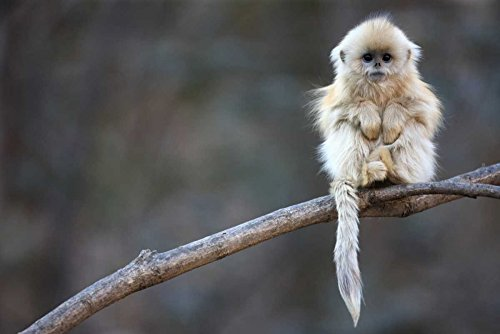 int Collection Golden Snub-Nosed Monkey Juvenile Qinling Mountains China Cyril Ruoso, (24 x 36), Multicolored ()