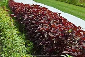 (Shopping E-KartHybrid Red Spinach Amaranthus Laal Saag Red Cheera Seeds Seeds for Gardening)