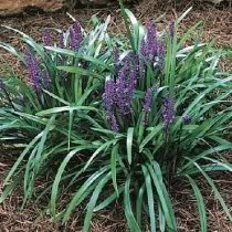 5 Lilyturf Liriope Muscari Aka Big Blue Lily Turf Monkey Grass