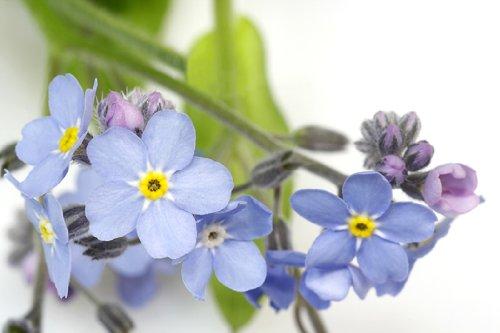 Myosotis (Forget Me Not) Blue Bird Nice Garden Flower by Seed Kingdom Bulk 20,000 Seeds by seed kingdom