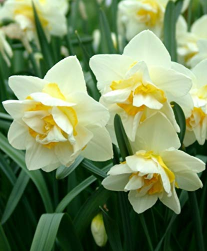 100Pcs White Chinese Daffodil Petals Flowers Seeds Bonsai Narcissus Plants for A Perennial Garden Beautiful Rare ()