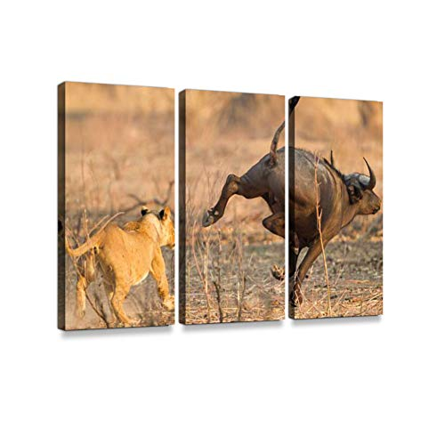 Lioness (Panthera Leo) chases After an African Buffalo (Syncerus caffer) Print On Canvas Wall Artwork Modern Photography Home Decor Unique Pattern Stretched and Framed 3 Piece