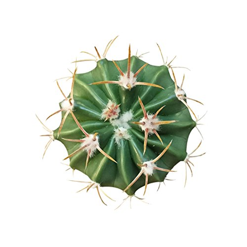 Devil's Tongue Barrel Crow's Claw Cactus Fish Hook Cactus (3 inch)