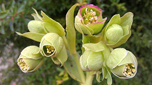 Bearpaw Hellebore Winter Flowering gem Green Flowers bee Plant Fresh 2018 Seeds