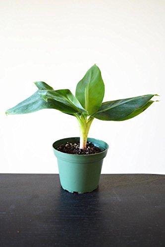 9GreenBox - Truly Tiny - Tiny Musa Banana Tree - 4