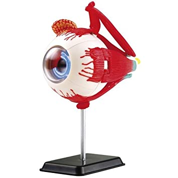 Eduplay Anatomie Modell Auge, 30-teilig: Amazon.de: Spielzeug