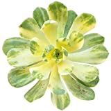 ANVIN Seeds Package:; + Clay Seed : Variegated Aeonium Suncup Castello-paivae f. variegata ('' or '')