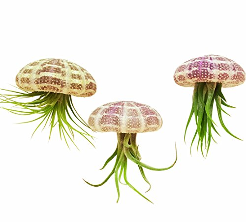 3 pc Hanging Tillandsia Air Plant Jellyfish Set / Includes Air Plants, Shells and Gift Box