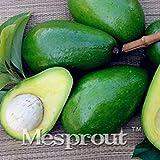 New Rare Green Avocado 10+ Seeds