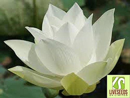 - Liveseeds - Bowl lotus/water lily flower /Bonsai Lotus / 5 Fresh seeds/White color