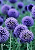 GLOBE THISTLE BUTTERFLY FLOWER - 25 SEEDS