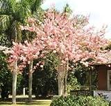 CASSIA JAVANICA NODOSA, pink & white shower tree beautiful flowers seed 10 seeds