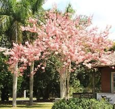 CASSIA JAVANICA NODOSA, pink & white shower tree beautiful flowers seed 10 seeds