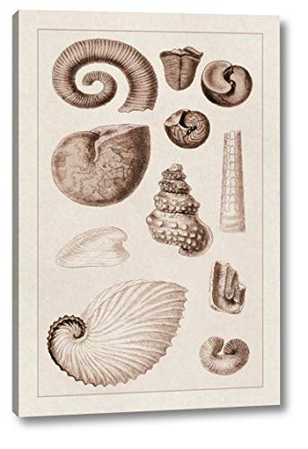 (Shells: Ammonacea (Sepia) by G.B. Sowerby - 13