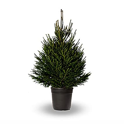 hot sales d5a65 00aa7 GARDENERSDREAM® 4 - 5FT LIVING POT GROWN NORWAY SPRUCE CHRISTMAS TREE WITH  ROOTS